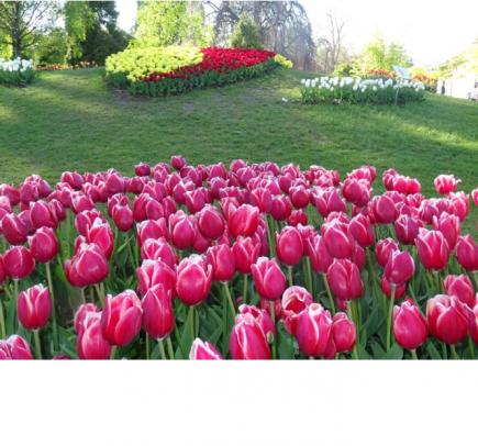 Eine Schachtel Tulpen (25 Tulpenzwiebeln) ist erhältlich für den speziellen Rotarypreis von CHF40