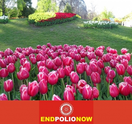 """Die """"EndPolioNow""""-Tulpe am internationalen Tulpenfestival in Morges (VD)."""